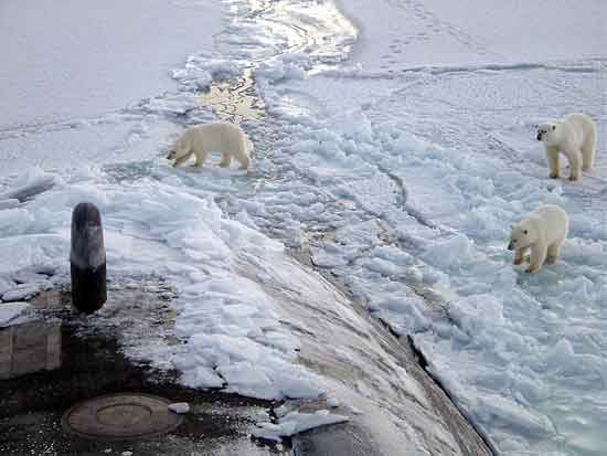 Polar Bears are superb swimmers of Arctic Circle