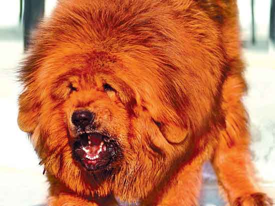 Tibetan Mastiff Dog - An Amazing Flock Guardian Dog