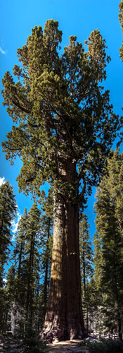 General Sherman - The Largest Tree In The World