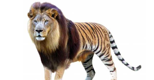 Liger Facts and Information about Ligers